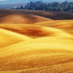 золоте поле
