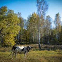 Корова, поющая о прекрасной осени