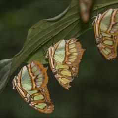 Бабочки рядышком...