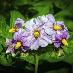 Цвіте собі картопля на городі
