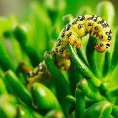 гусеница бабочки махаон