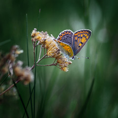 Бабочка Червонец Гелла