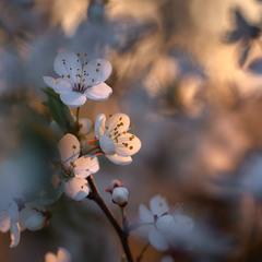 Цветущая весна в золотой час...