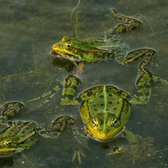 три девицы-жабицы во пруду...
