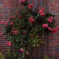 кущ червоних троянд ...