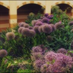 Violettträume