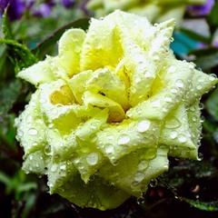 Tроянда