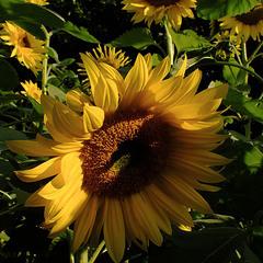соняшники