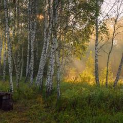 Утро в берёзовой роще