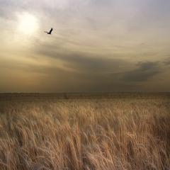 полёт над пшеничным полем