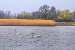 Посеред села на солончаку живуть-поживають лебеді