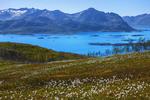 Polar White Cottongrass це називається (полярна біла бавовна). Панятна?
