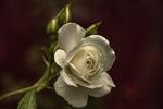 Проти ночі, післі дощу, троянди бувають по-особливому запашні.