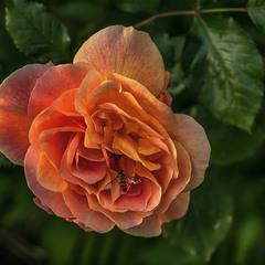 Історія трапилася з трояндою, вечірнім сонцем і спраглою комахою.