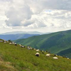 Сонце заступили хмари, і вівцям стало приємніше споживати харч - прохолодніше!