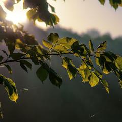 На світанні листя засвітилося особливо якось - еге ж? Це і є світлина.