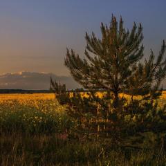 У полях край села: сонце сіло й причаїлося за лісом, а сосна серед поля сипле пилок, розмножується.