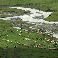 Вівці та отари.