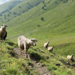 Страху нема у карачаївських овечок