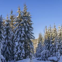 Гарно в лісі в сонячний день буває взимку під Говерлою.
