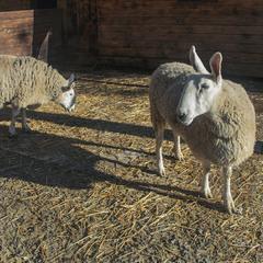 Груповий портрет в інтер'єрі: доглянуті вівці і глибокі тіні.