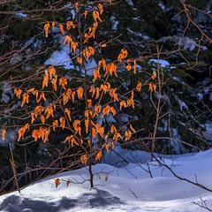 Засвітилися проти ночі листя й сніг життя - ще буде!