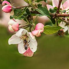Яблука - будуть! Забери із Землі бджіл, і хто залишиться - шершні, ґедзі й джмелі?