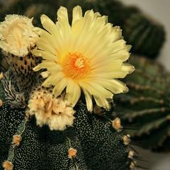 Такі - да: це - кактус цвіте.