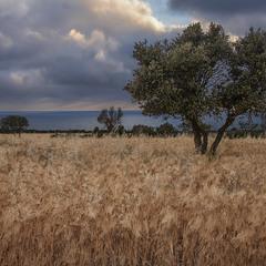 Над морем, вівсом (з ячменем) і оливками збирається темінь. Бо буде дощ.