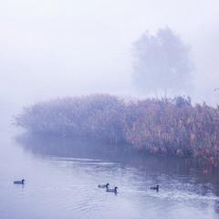 Осіннячко рябе. На острові закоханих качок життя триває в сизому тумані.