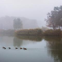 Туманний ранок жовтня з качками і очеретом.