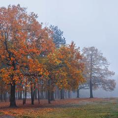 Червоні дерева викликають довіру й повагу. Коли випірнають з туману.