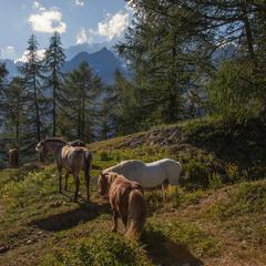Коникам в горах легко - гіпоксії вони не бояться, бо треновані.