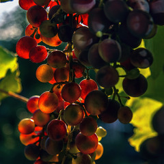 Виноград дозріває на балконі і світиться від радості як дитина - їжте осьоО.