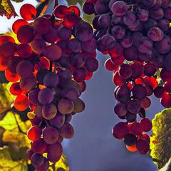 Виноград дозріває.