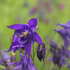 Чи це Aquilegia Alpina, а чи Aquilegia vulgaris? Ґуґл каже: по-нашому Орлик звичайний. В горОді.