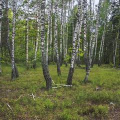 Дощ, білі дерева і грибне місце.