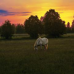 Білий кінь купається в сонячному золоті проти ночі.