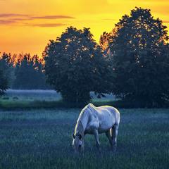 Купання білого коня в сонячному промінні з поїданням соковитої у росі трави проти ночі було.