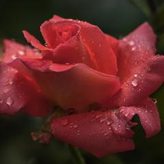 """""""У щастя людського два рівних є крила: Троянди й виноград, красиве і корисне""""."""