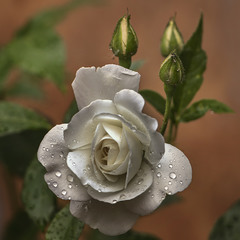 Троянда біла після дощу.