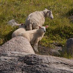 Вівці особливі кам'янисті (мама з двома доцями?).