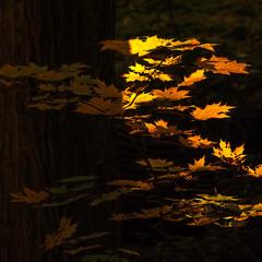 Щоб листячко засвітилося, осені треба було ще добряче постаратися.