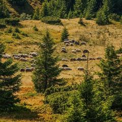 Скромні вівці пасуться на полонині. А нескромних - стрижуть.