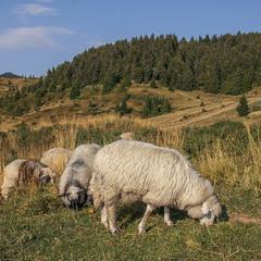Сонце низенько, вівці близенько - вечеряють.