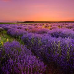 Lavender after sunset