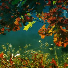осінь молодого дуба
