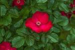 Червона троянда