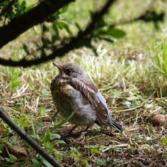 Пташеня чикотня
