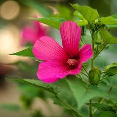 Гібіскус садовий